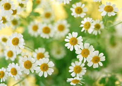 daisys_brancas_b65498e7cc91f179fdf9e203ad7dfaa4_Daisy_Field